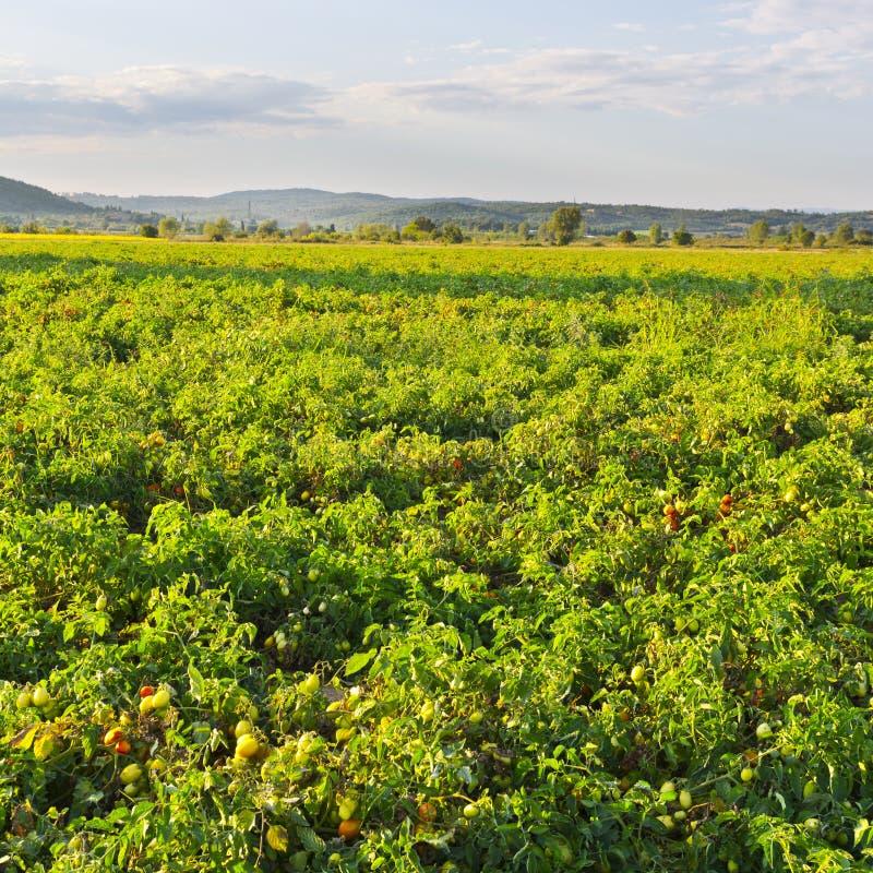 Plantacja pomidory w Włochy obrazy stock