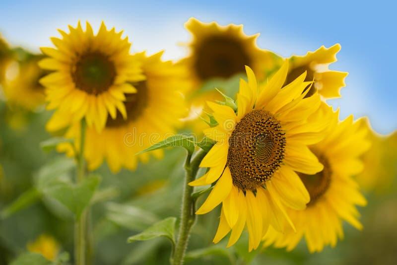 Plantacja słonecznika Olej słonecznikowy może być stosowany do silników Diesla, jeżeli jest mieszany z olejem napędowym w zbiorni obraz royalty free