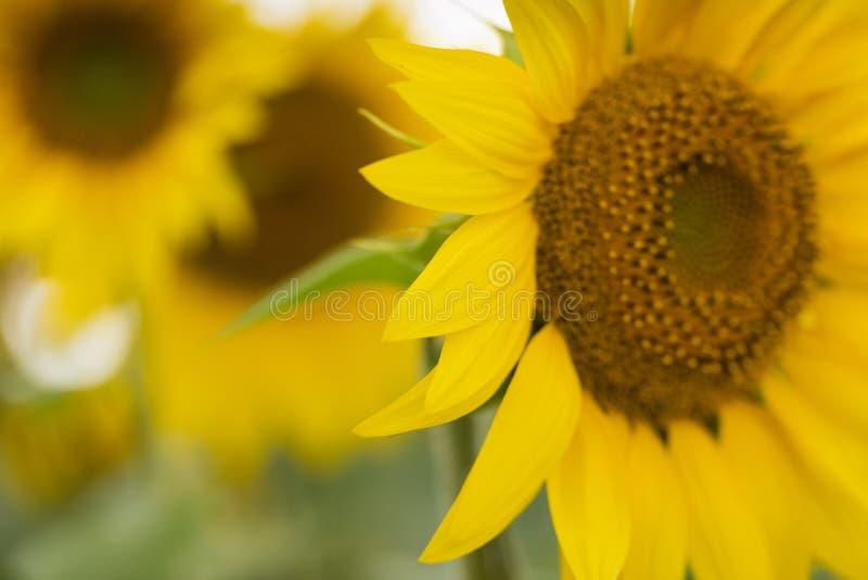 Plantacja słonecznika Olej słonecznikowy może być stosowany do silników Diesla, jeżeli jest mieszany z olejem napędowym w zbiorni obrazy royalty free