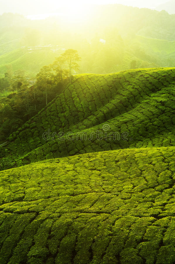 plantacje herbaciane obrazy royalty free