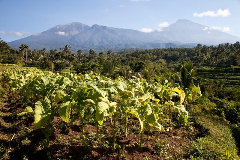 plantacje tabaczne obrazy stock