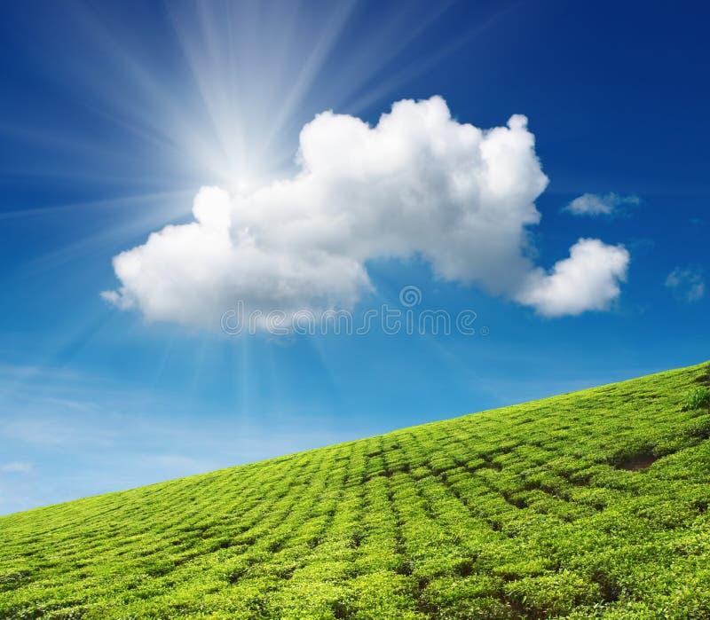 plantacji herbaty. obraz stock