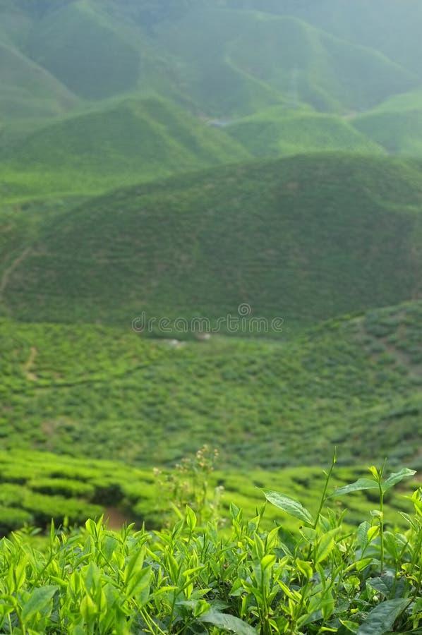 plantacji malaysia herbaty fotografia stock