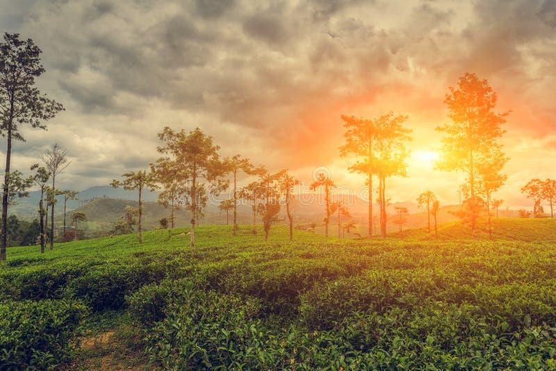 plantacji sri lanki herbaty fotografia royalty free