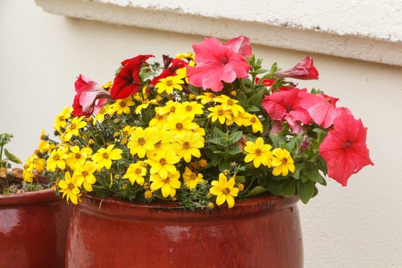 Plantador com petúnia e flores do beggarticks de apache em um jardim fotos de stock