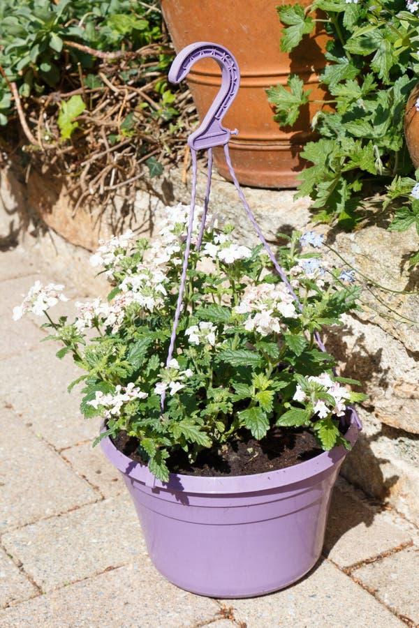 Plantador con las flores blancas del vervain fotos de archivo