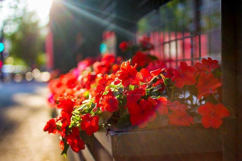 Plantador con las flores rojas imagen de archivo