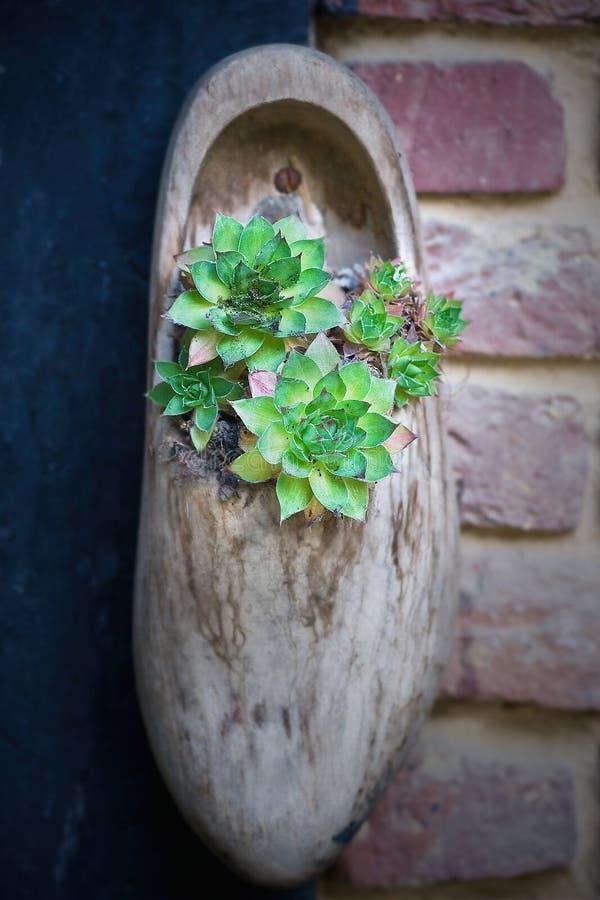 Plantador de la flor del estorbo del holandés foto de archivo