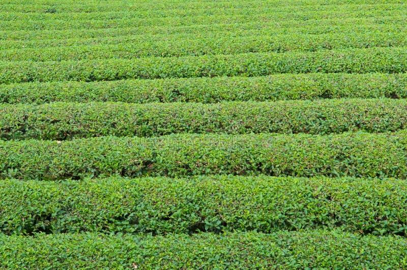 Plantage des grünen Tees Teeblatt organisch lizenzfreie stockbilder