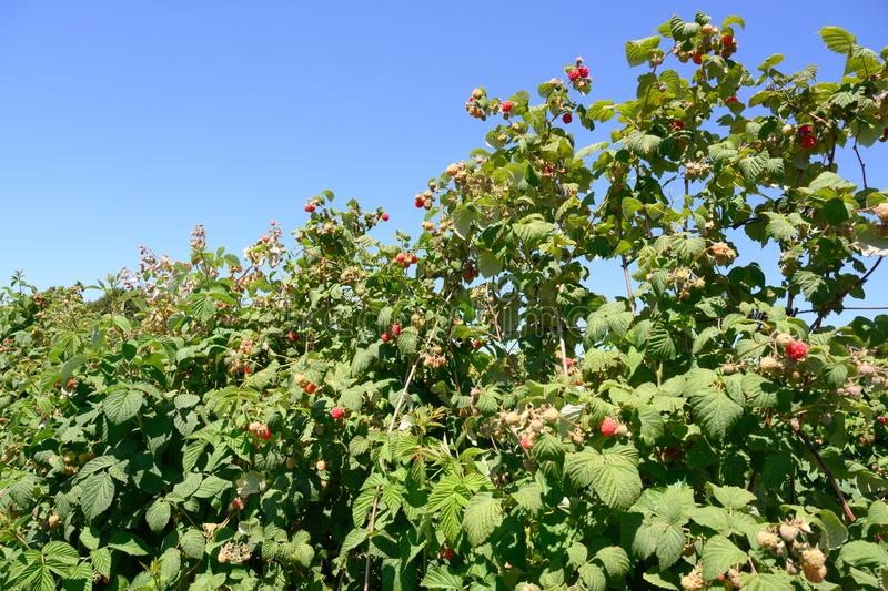 Raspberry Plants - ripening raspberries on plantation in summer stock photos