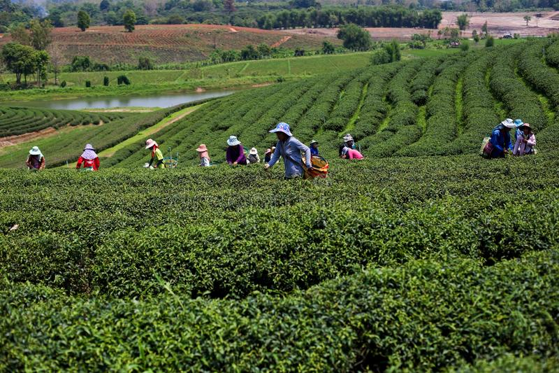 Plantagen des Tees in Mae Salong Valley Nord-Thailand stockfotos