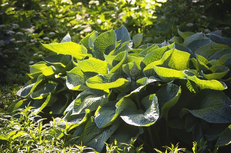 Plantaginea do Hosta fotos de stock