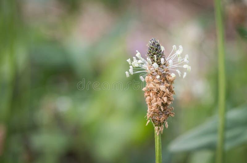 Plantago Lanceolata, Ribwort, Buckhorn, макрос цветка подорожника Narrowleaf с предпосылкой bokeh стоковое изображение