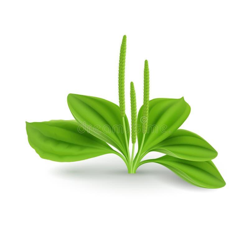 Plantago liście royalty ilustracja