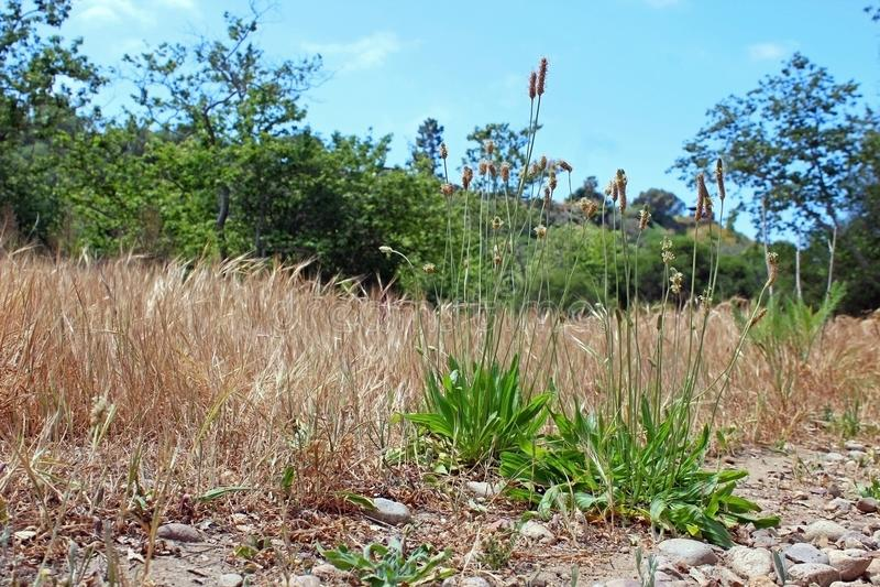 Plantago selvatico, Marian Bear Memorial Park, fotografia stock libera da diritti