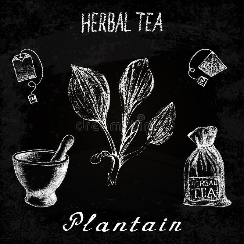 Plantain βοτανικό τσάι Σύνολο πινάκων κιμωλίας στοιχείων ελεύθερη απεικόνιση δικαιώματος