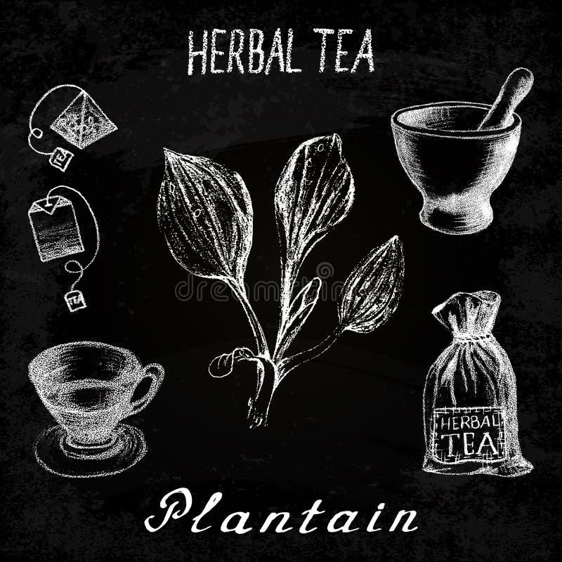 Plantain βοτανικό τσάι Σύνολο πινάκων κιμωλίας στοιχείων διανυσματική απεικόνιση