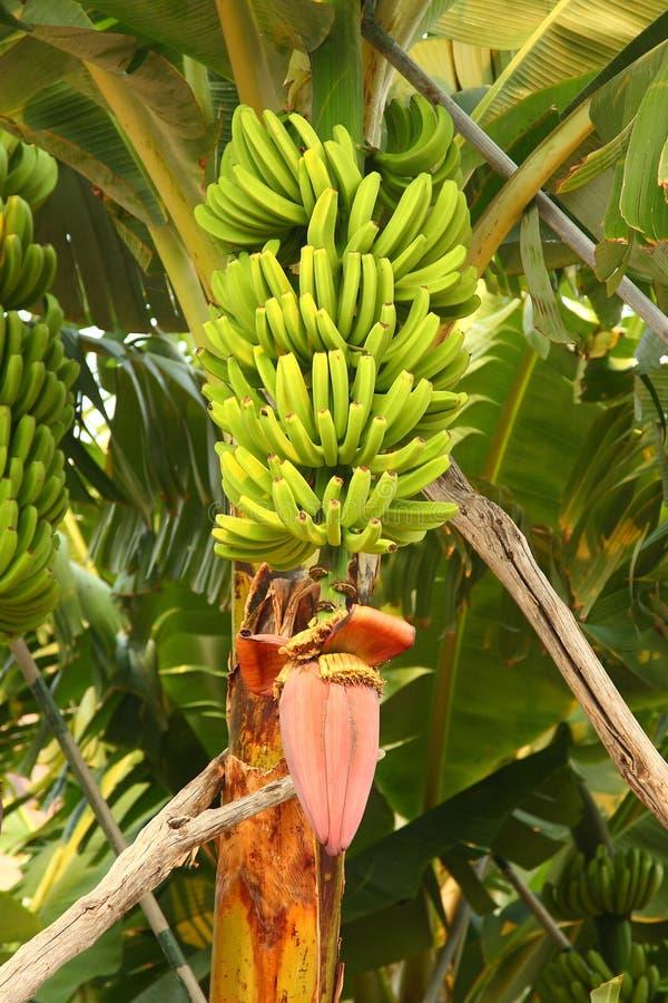 plantain arkivfoton
