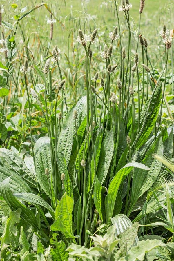 plantain στοκ φωτογραφία