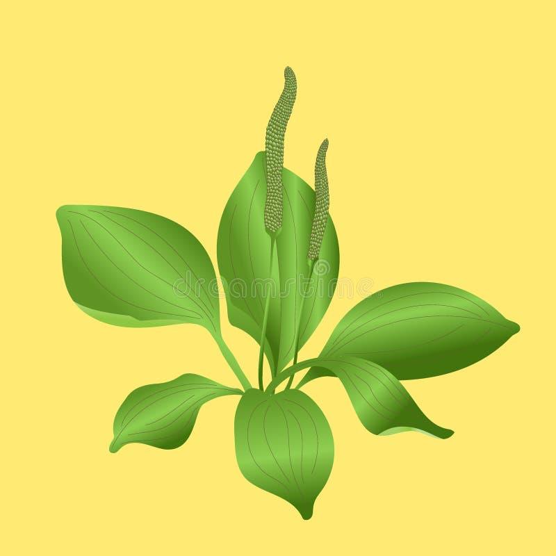 plantain illustration stock