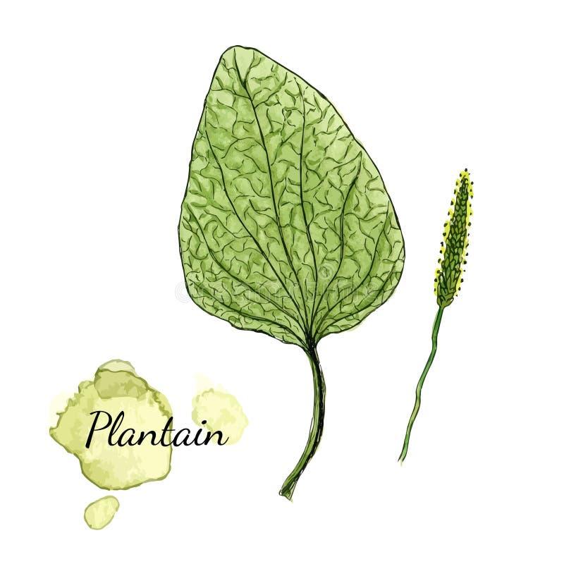 Plantain d'aquarelle Herbe médicinale Illustration de vecteur illustration libre de droits