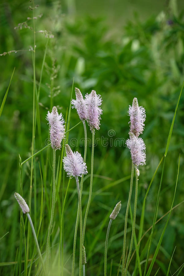 Plantain flowers royalty free stock photography