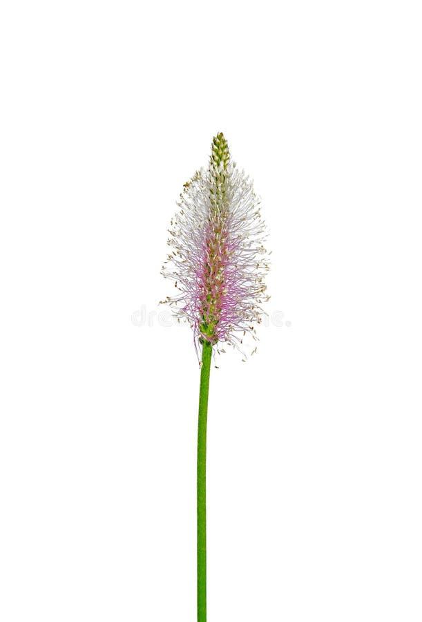 Plantain Hoary (media do Plantago) imagens de stock