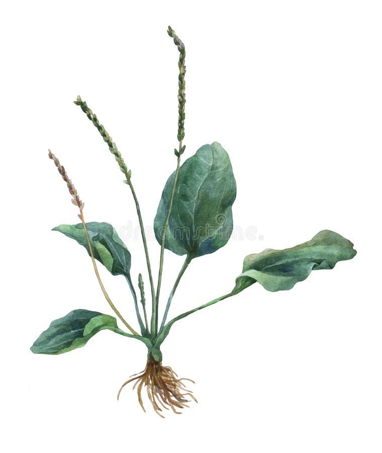 plantain Illustration botanique illustration de vecteur