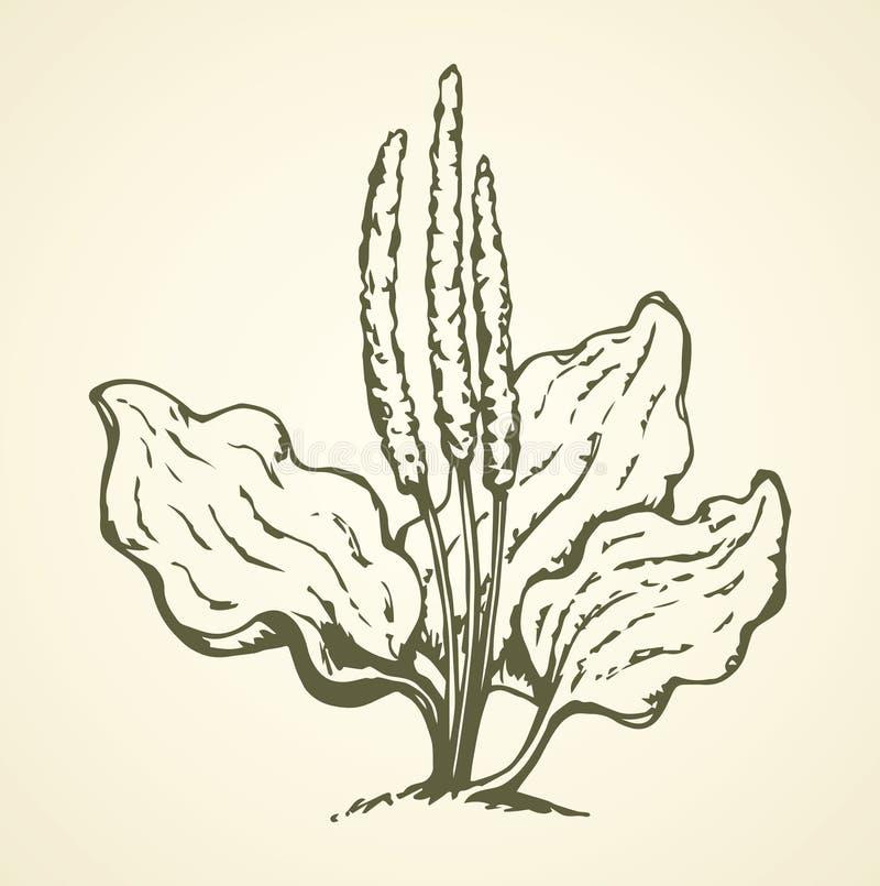 plantain Retrait de vecteur illustration stock