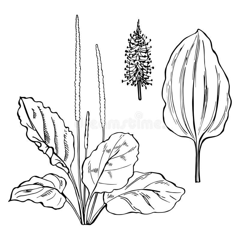 Plantain tiré par la main sur le fond blanc illustration de vecteur