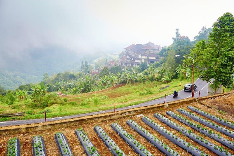 Plantaions клубники около озера Bratan, Бали стоковые фотографии rf
