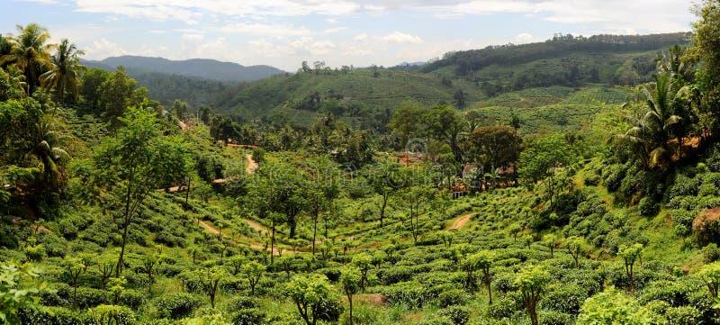 Plantaition del tè immagine stock