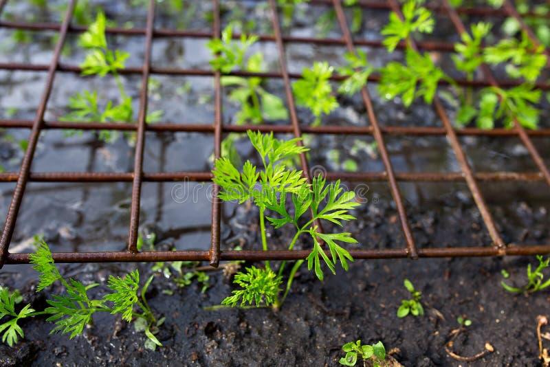 Plantamorot för unga växter arkivbild