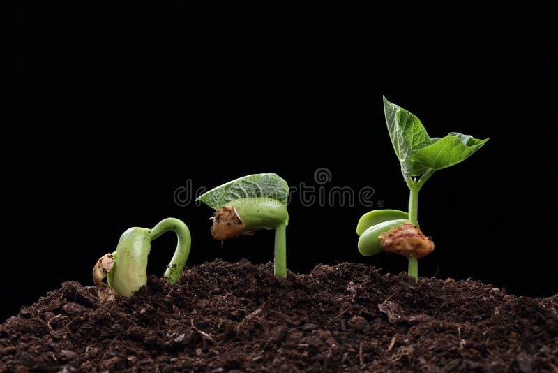 Plantan av bönan kärnar ur i jord