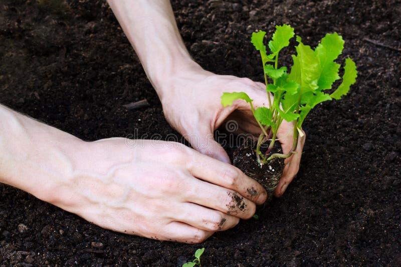 Plantando a alface nova no jardim fotos de stock