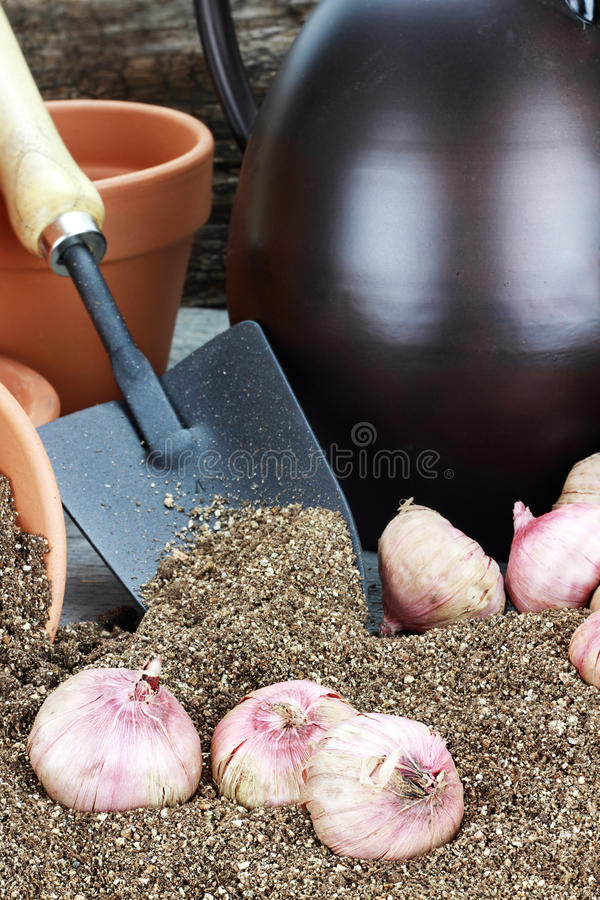 Plantando bulbos de flor fotografia de stock
