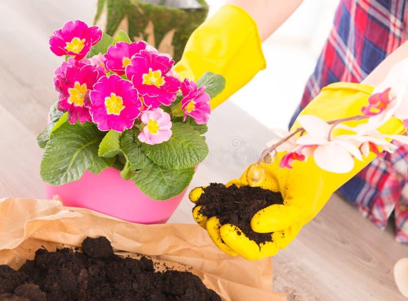 Plantando a flor do colorfull em um vaso de flores fotos de stock royalty free