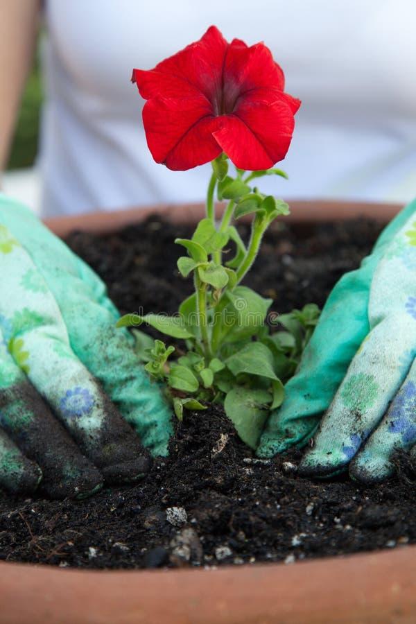 Plantando a flor do petúnia foto de stock royalty free