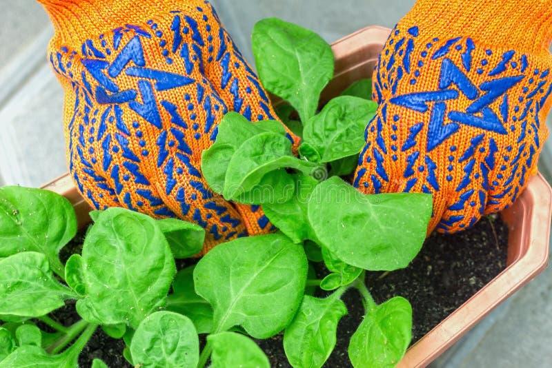 Plantando floresce no jardim no jardim para um trabalho do verão, t foto de stock royalty free