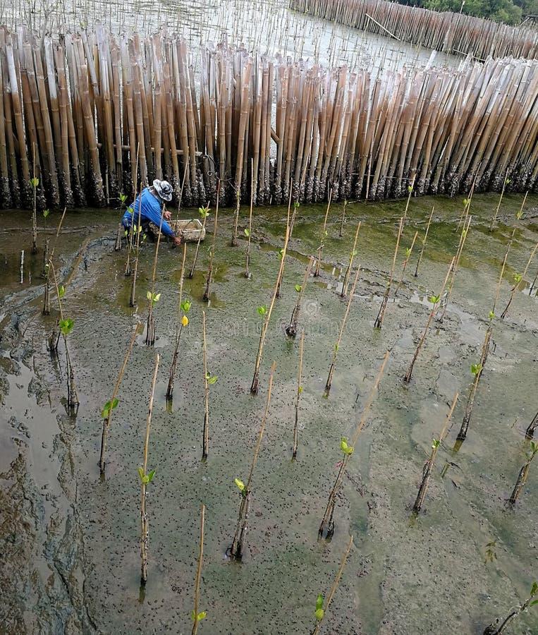Plantando florestas dos manguezais, florestas dos manguezais, aldeões da floresta dos manguezais de Plak Tonkla que plantam para  fotografia de stock royalty free