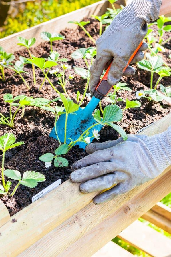 Plantando morangos imagem de stock royalty free