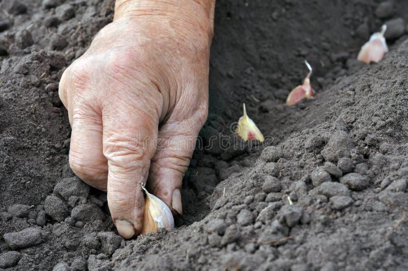 Plantando o alho fotografia de stock