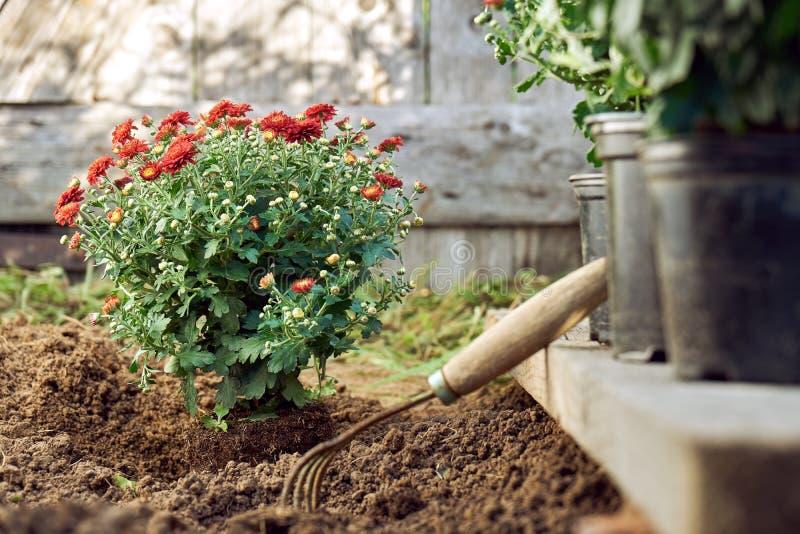Plantando o arbusto vermelho do crisântemo no jardim na noite do verão foto de stock royalty free