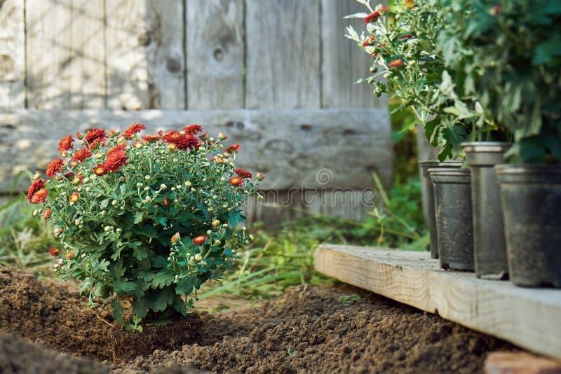 Plantando o arbusto vermelho do crisântemo no jardim na noite do verão foto de stock