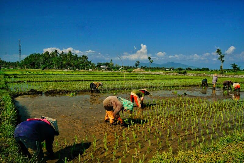 Plantando o arroz em Banyuwangi imagens de stock