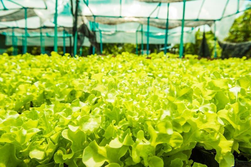 Plantando os molhos de salada orgânicos não-tóxicos dos vegetais bonitos foto de stock