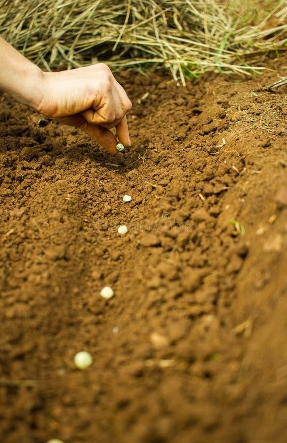 Plantando Pea Seeds foto de stock royalty free