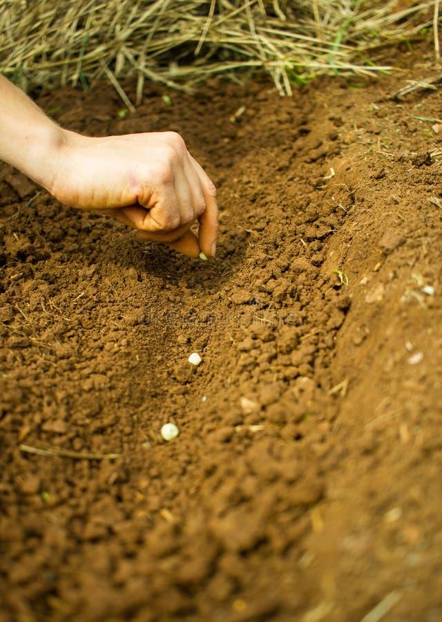 Plantando Pea Seeds fotos de stock royalty free