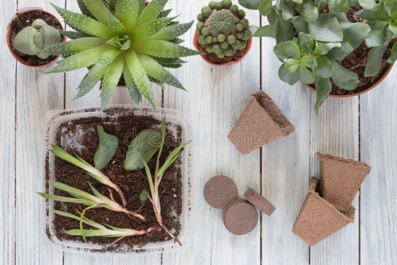 Plantando pepinos em casa foto de stock