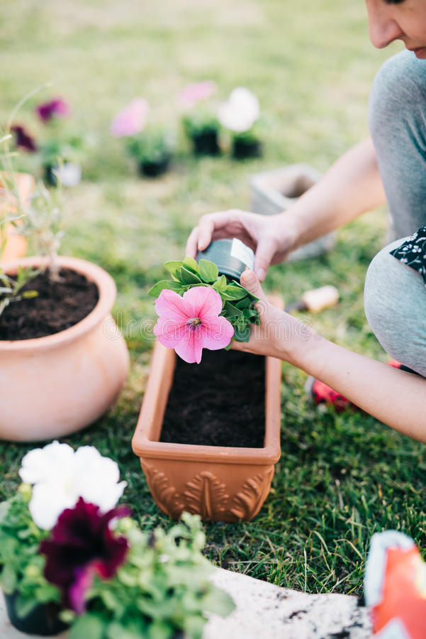 Plantando petúnias fotos de stock